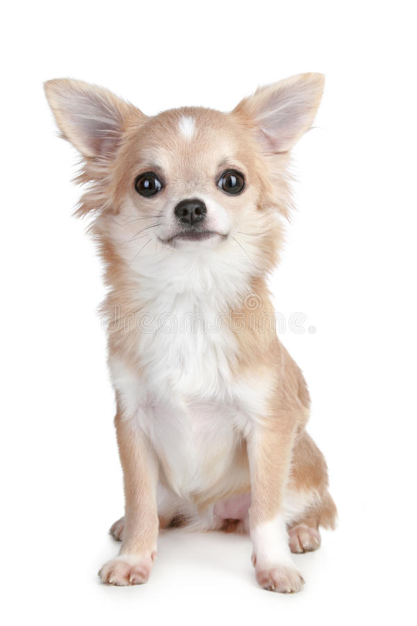 Free Chihuahua Puppy Royalty Free Stock Images - 17441139