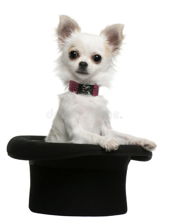 Free Chihuahua Puppy, 3 Months Old, Sitting In Top Hat Royalty Free Stock Photo - 16821965