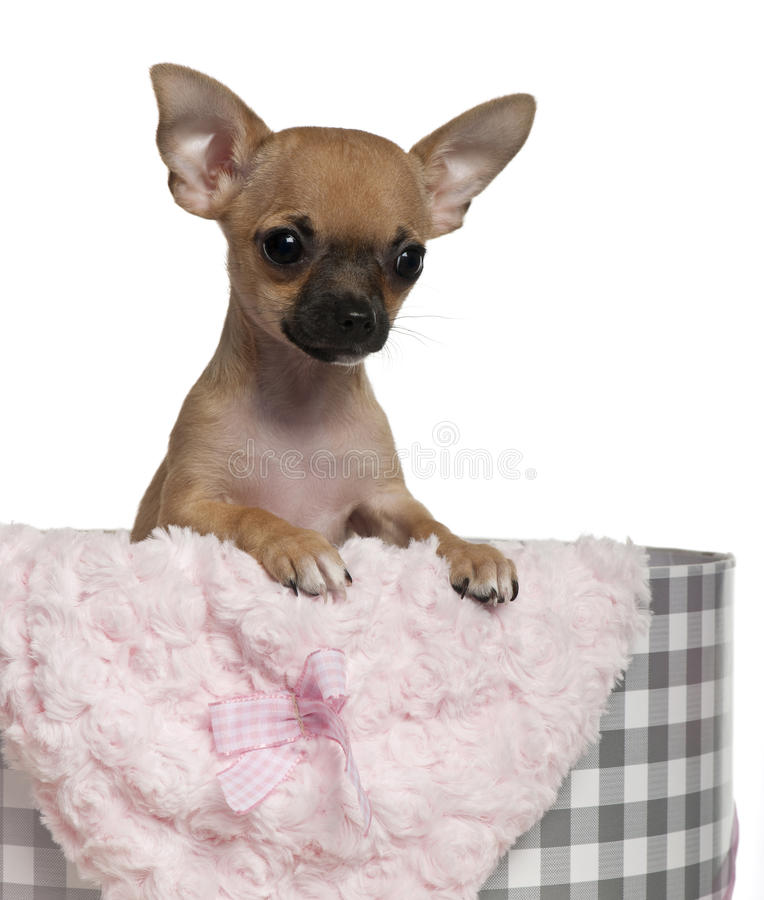 Chihuahua puppy, 3 months olds