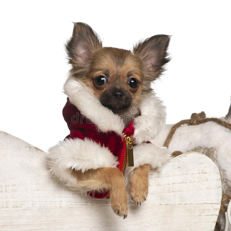 Chihuahua puppy, 4 months old, in Christmas stock photos