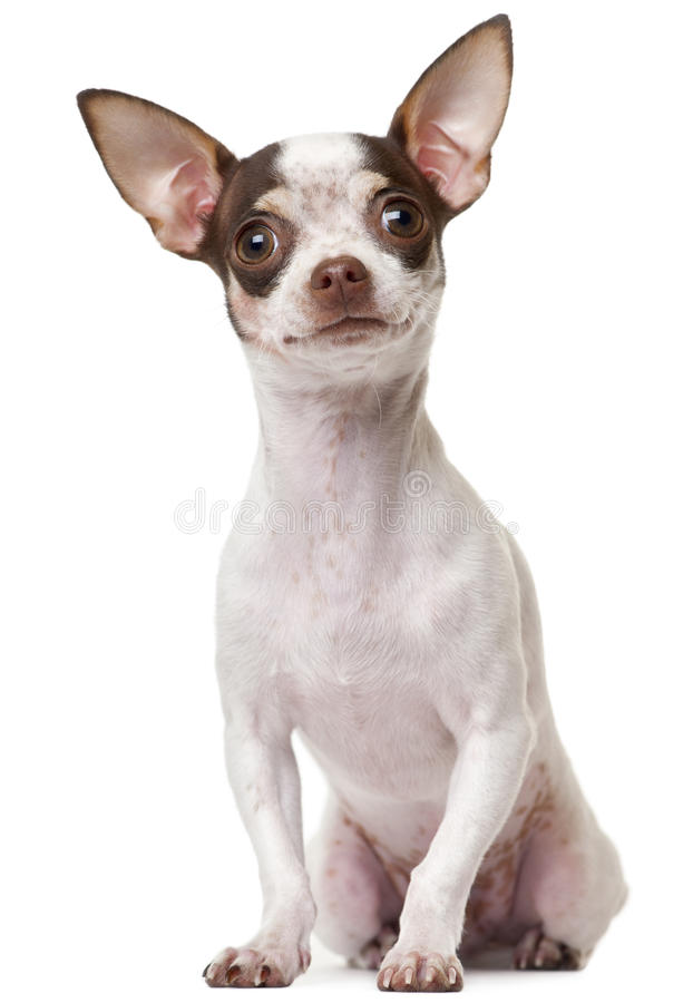 Chihuahua puppy, 6 months old, sitting stock photo
