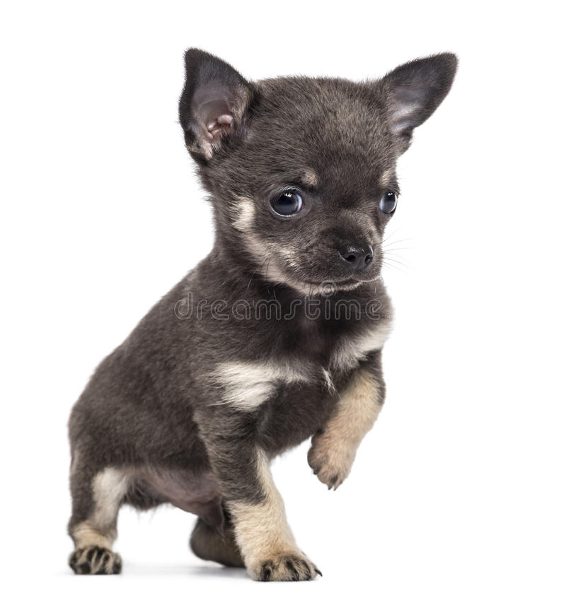 Download Chihuahua Puppy, 7 Weeks Old, Looking Away Stock Photo - Image: 27818126