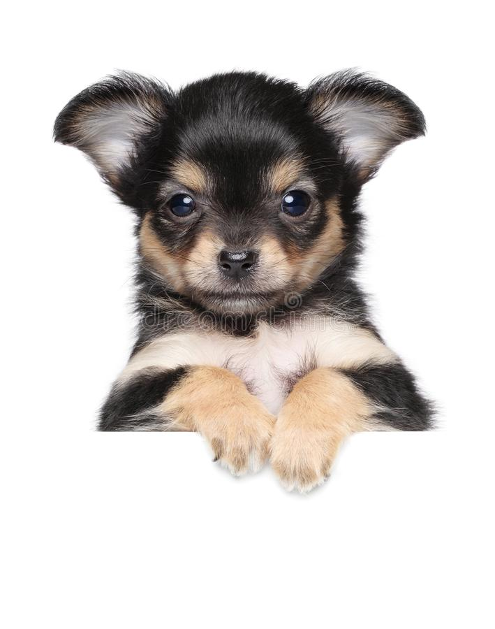 Chihuahua puppy above banner royalty free stock image