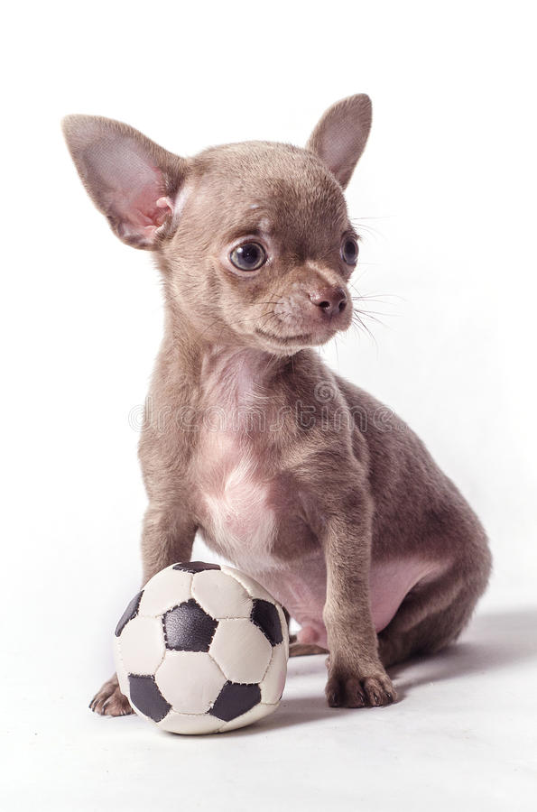 Chihuahua puppy with ball stock images