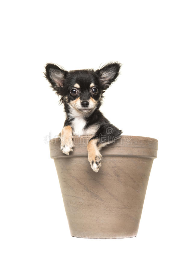 Chihuahua puppy in a brown flower pot stock photo