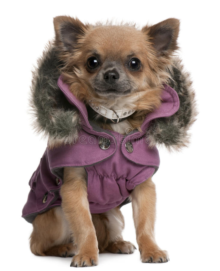 Free Chihuahua Puppy Dressed In Purple Hooded Coat Stock Photo - 17038740
