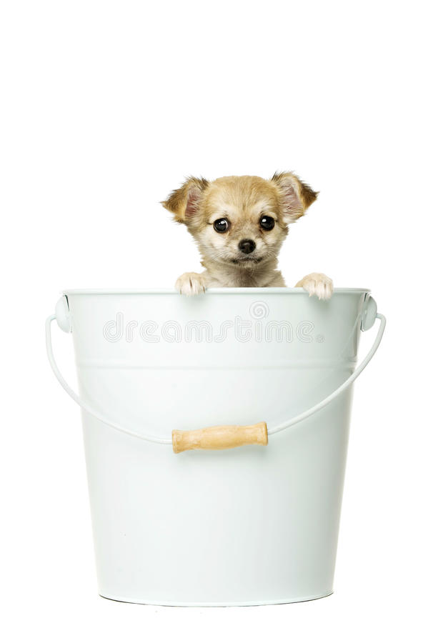 Chihuahua Puppy Isolated On White Stock Photo - Image of