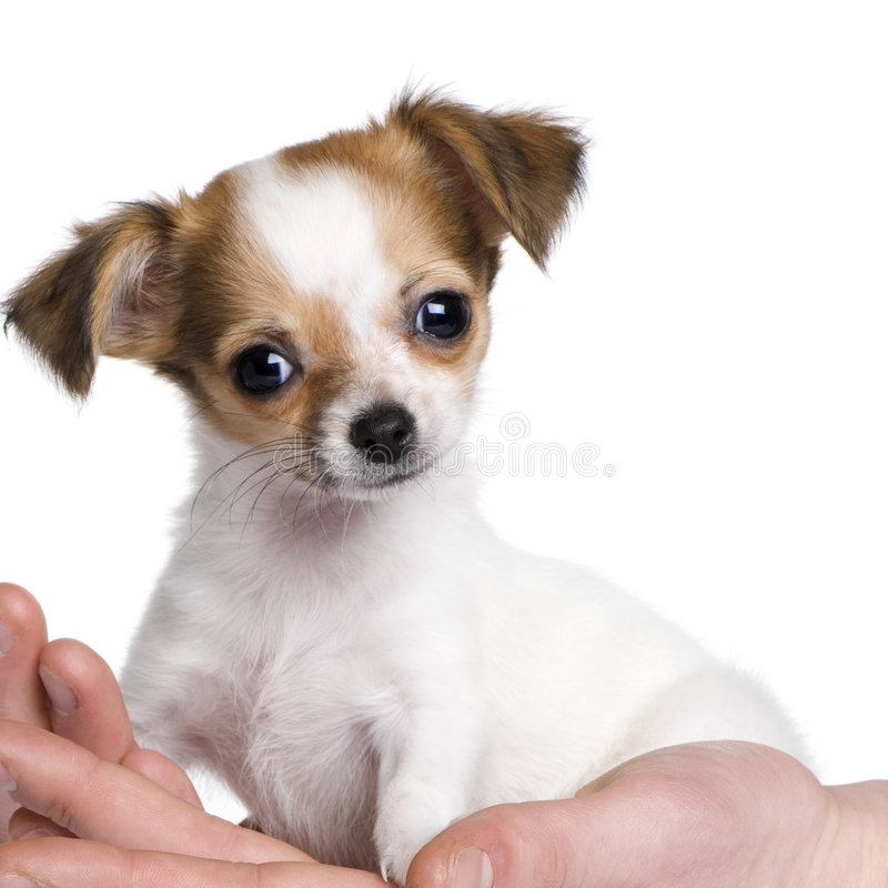 Free Chihuahua Puppy In A Hand (3 Moths) Stock Images - 7645404