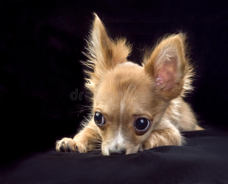 Chihuahua puppy with large eyes and ears portrait stock photography