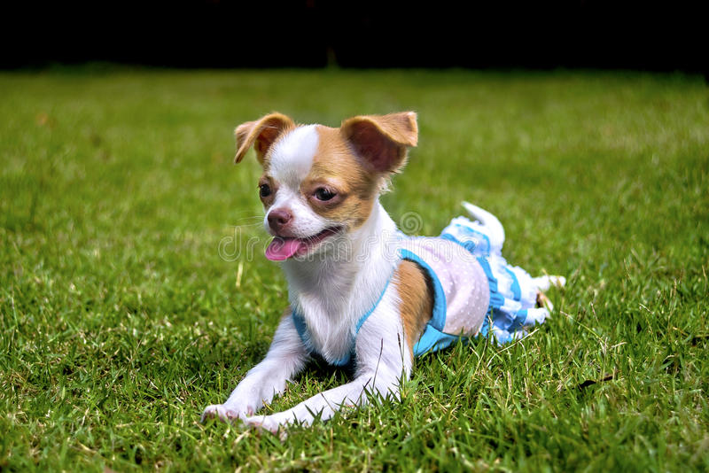 Chihuahua puppy Lie on the lawn. White Chihuahua puppy lying on the lawn royalty free stock photos
