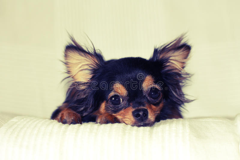 Chihuahua puppy lying on bed stock photos