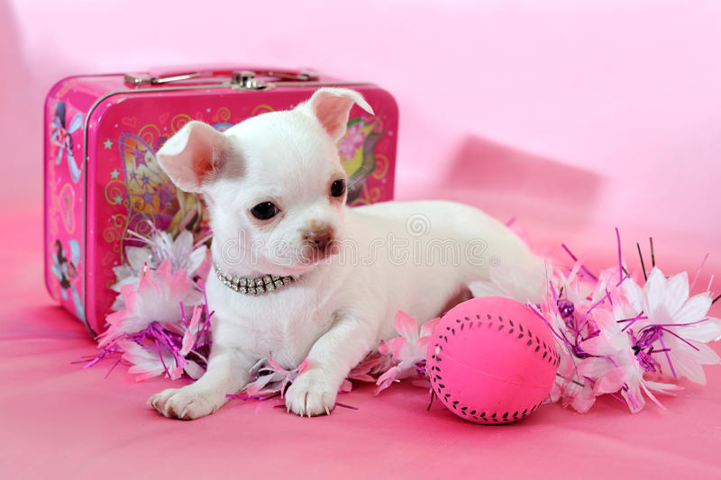 Chihuahua puppy in pink. Portrait of white chihuahua puppy with ball and gifts in pink background stock photography