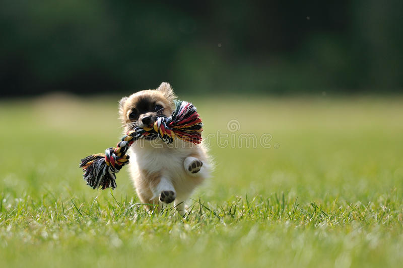 Chihuahua puppy play game with toy in woman hand stock photos