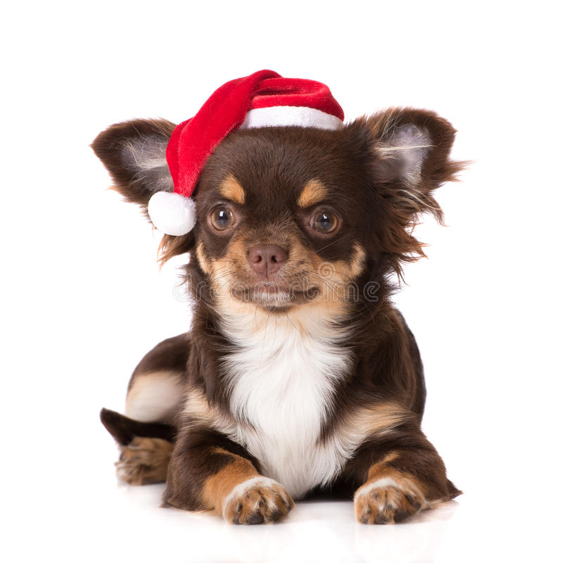 Chihuahua puppy in a santa hat. Adorable chihuahua puppy in a santa hat royalty free stock photos