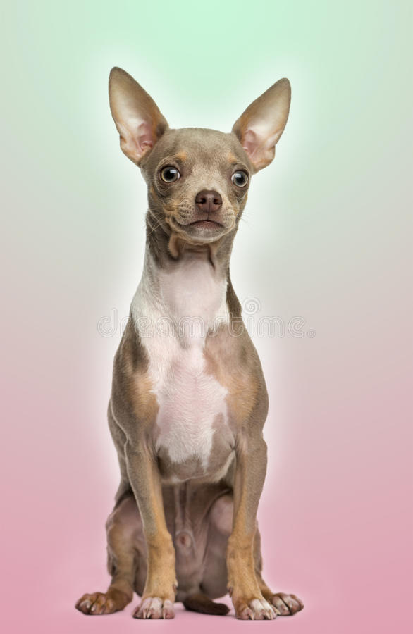 Chihuahua puppy sitting on a gradient colored background royalty free stock image