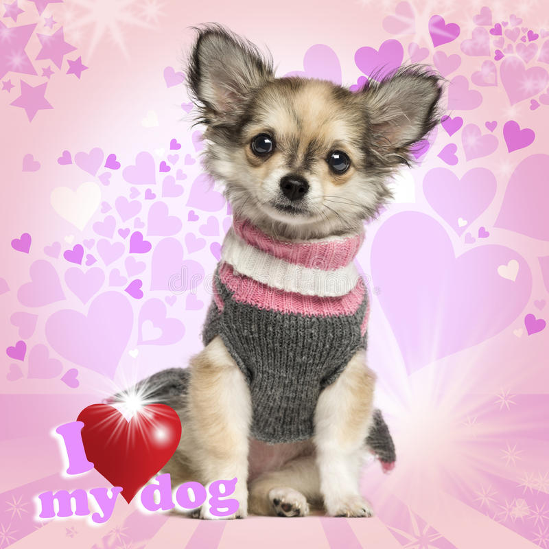 Chihuahua puppy sitting on heart background stock photo