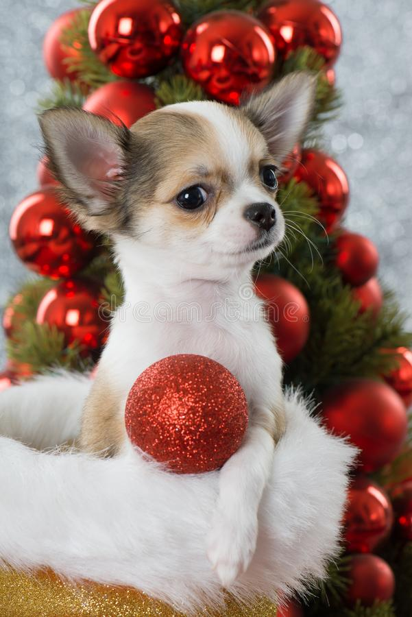 Free Chihuahua Puppy Sitting In A Santa Claus Boot Stock Photo - 131160650
