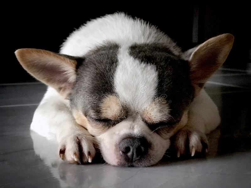 Chihuahua. The puppy is sleeping. royalty free stock images
