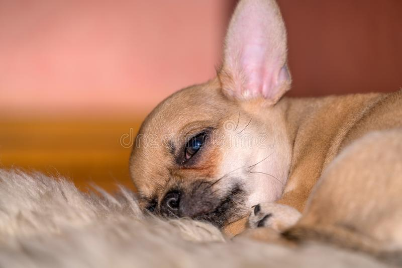 Chihuahua puppy is tired and resting on a soft sheepskin carpet stock photos