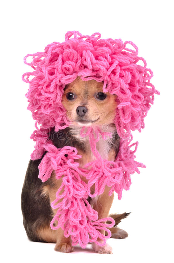 Download Chihuahua Puppy Wearing Curly Hat And Scarf Stock Image - Image: 19386977