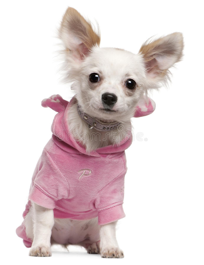 Chihuahua puppy wearing pink, 5 months old stock images