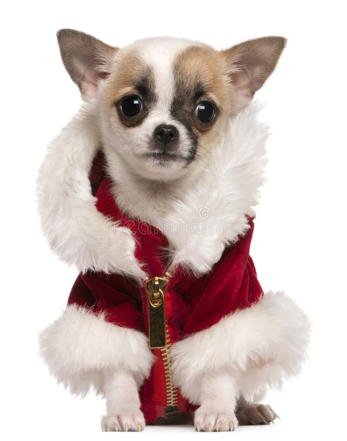 Download Chihuahua Puppy Wearing Santa Coat Stock Image - Image of pedigree, front: 17597585