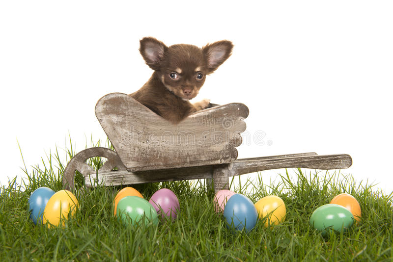 Chihuahua puppy in a wheelbarrow on a grass with colored easter eggs royalty free stock images