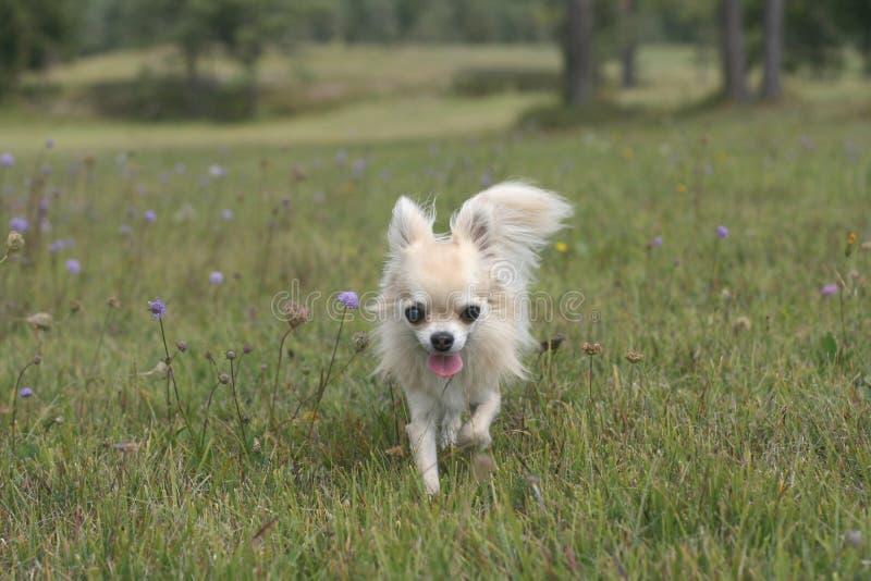 Chihuahua que camina afuera en hierba fotografía de archivo libre de regalías