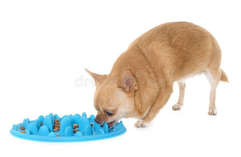 Chihuahua que come no estúdio fotografia de stock