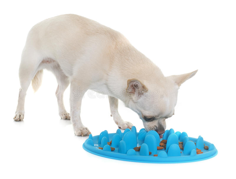 Chihuahua que come no estúdio foto de stock royalty free