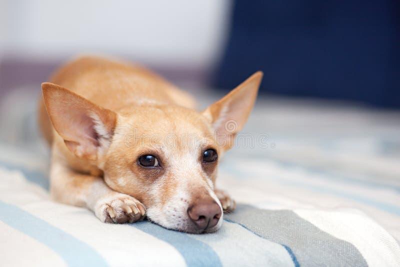 Chihuahua que miente en el sof? Restos del animal dom?stico Perro rojo en el sofá Una foto horizontal de un tiro interior de un i fotografía de archivo