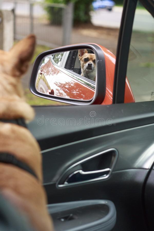 Chihuahua que mira en el espejo fotos de archivo