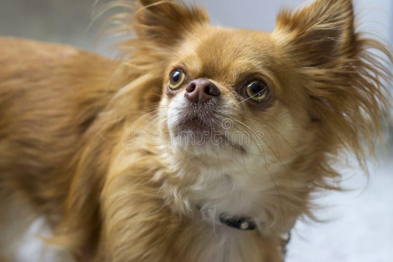 Chihuahua que olha acima imagens de stock