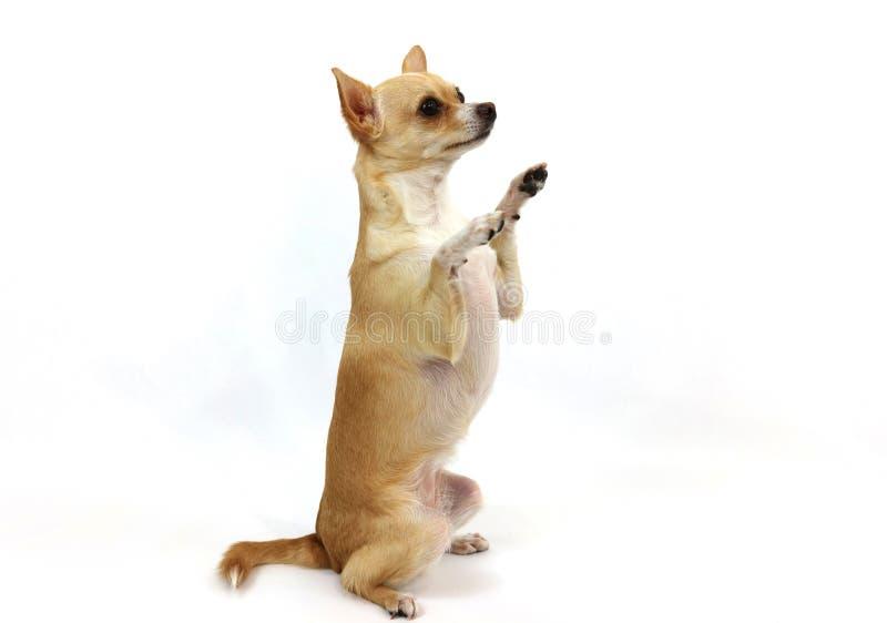 Chihuahua que pide en el fondo blanco imagen de archivo