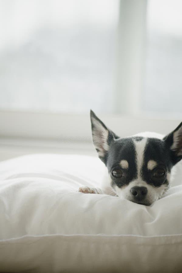 Chihuahua que toma el sol fotografía de archivo libre de regalías