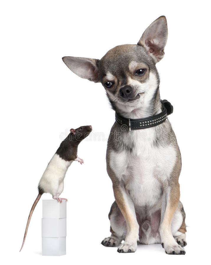 Chihuahua and a rat sitting royalty free stock photos