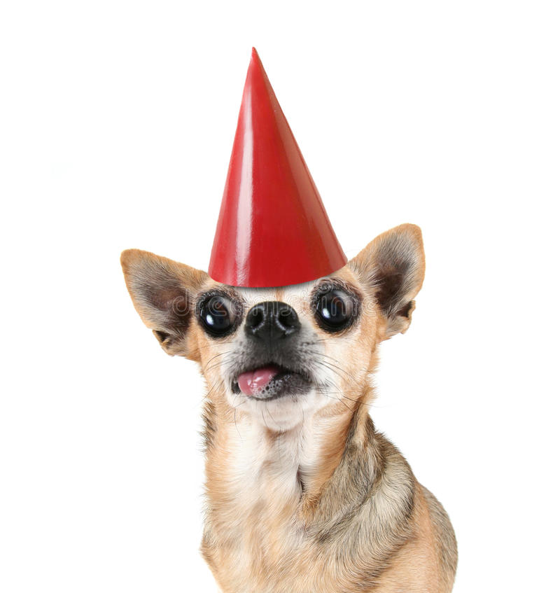 A chihuahua with a red birthday hat on. A chihuahua with a red birthday hat royalty free stock photography