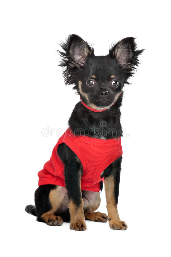 Download Chihuahua with red shirt stock image. Image of purebred - 25682469