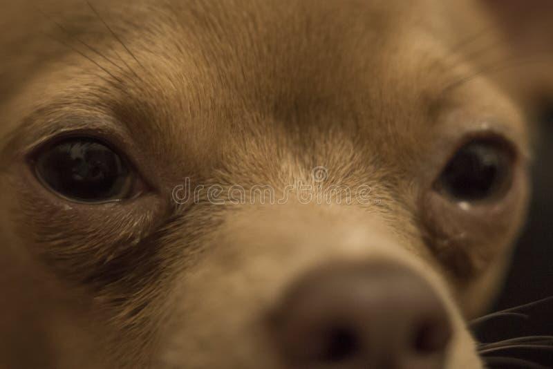 Chihuahua roja hermosa imágenes de archivo libres de regalías