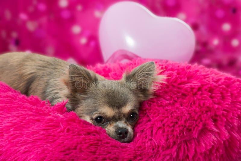 Chihuahua rosa immagini stock libere da diritti