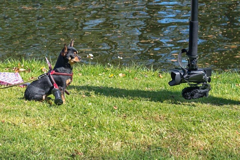 Chihuahua rozłupany kordzikiem pozuje cicho dla kamery obraz royalty free