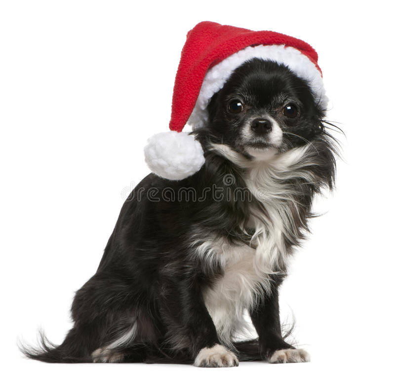 Chihuahua in Santa hat, 18 months old, sitting. In front of white background stock photos