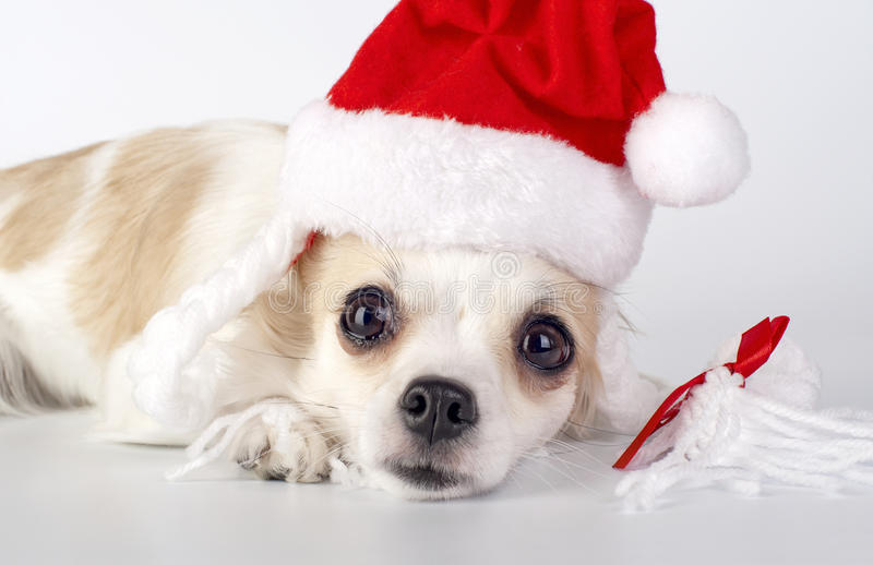 Chihuahua with Santa hat close-up. Lying on white background stock image