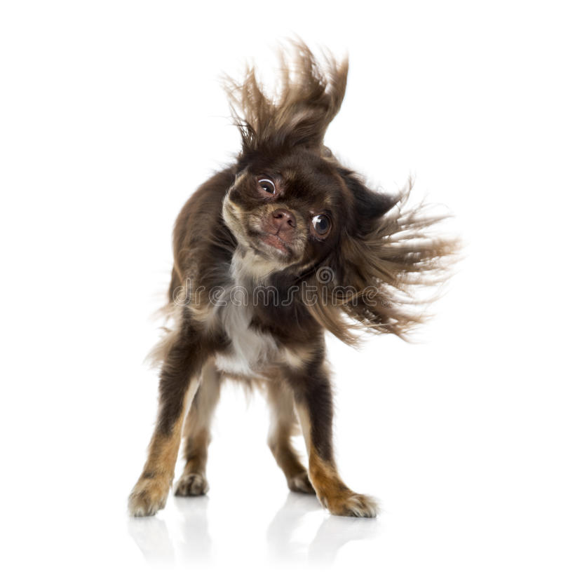 Chihuahua Shaking Itself Stock Photo