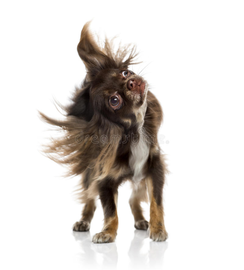 Download Chihuahua shaking itself stock image. Image of canine - 41270667