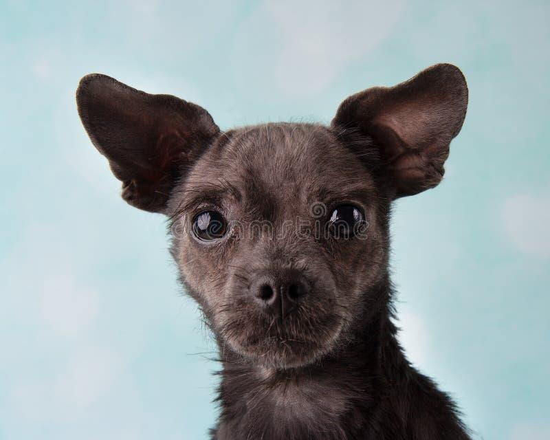Chihuahua Shih Tzu Mix Portrait im Studio auf einem blauen und weißen Herz-Hintergrund-Gesicht lizenzfreies stockfoto