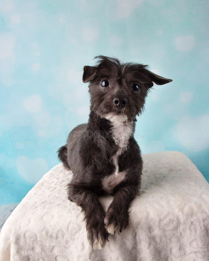 Chihuahua Shih Tzu Mix Portrait in Studio op het Blauwe en Witte Hart Liggen Als achtergrond stock foto