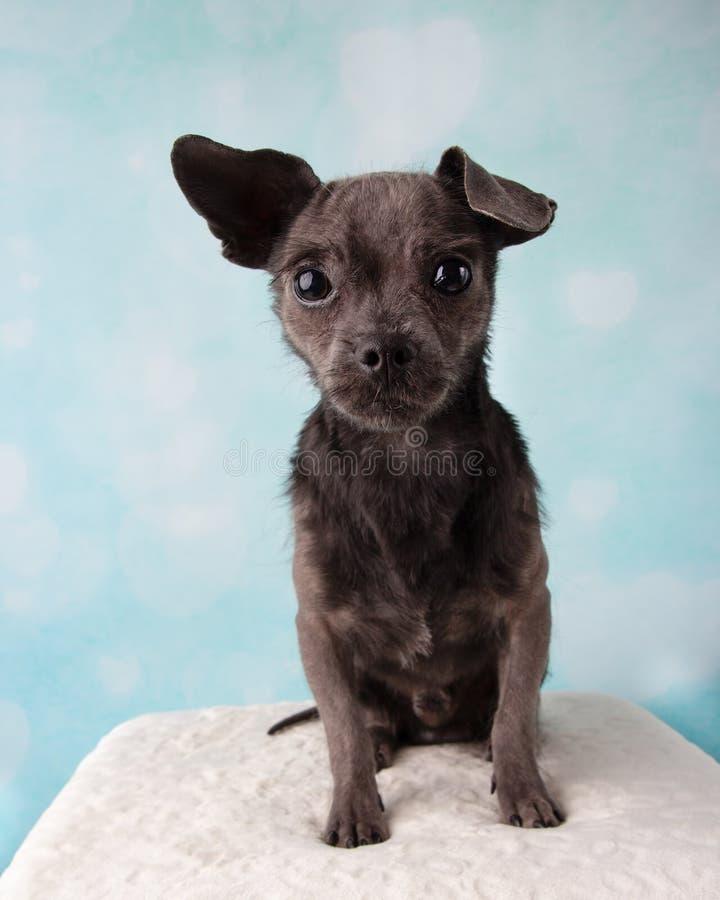 Chihuahua Shih Tzu Mix Portrait in studio su una seduta blu e bianca del fondo del cuore fotografia stock