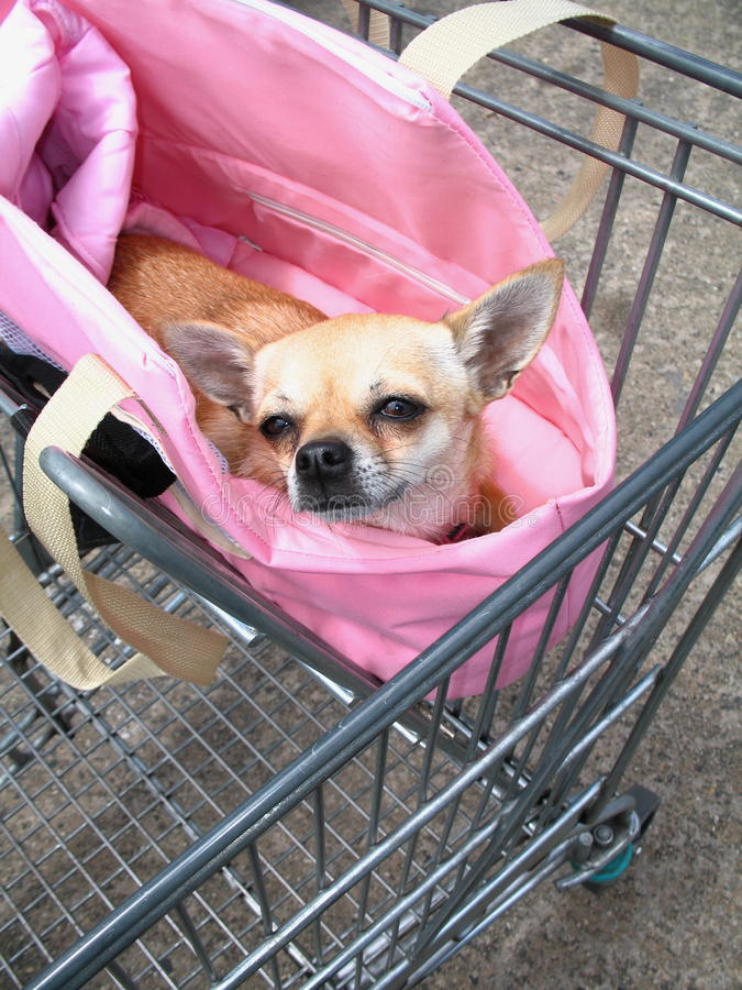 Chihuahua In Shopping Trolley Royalty Free Stock Images