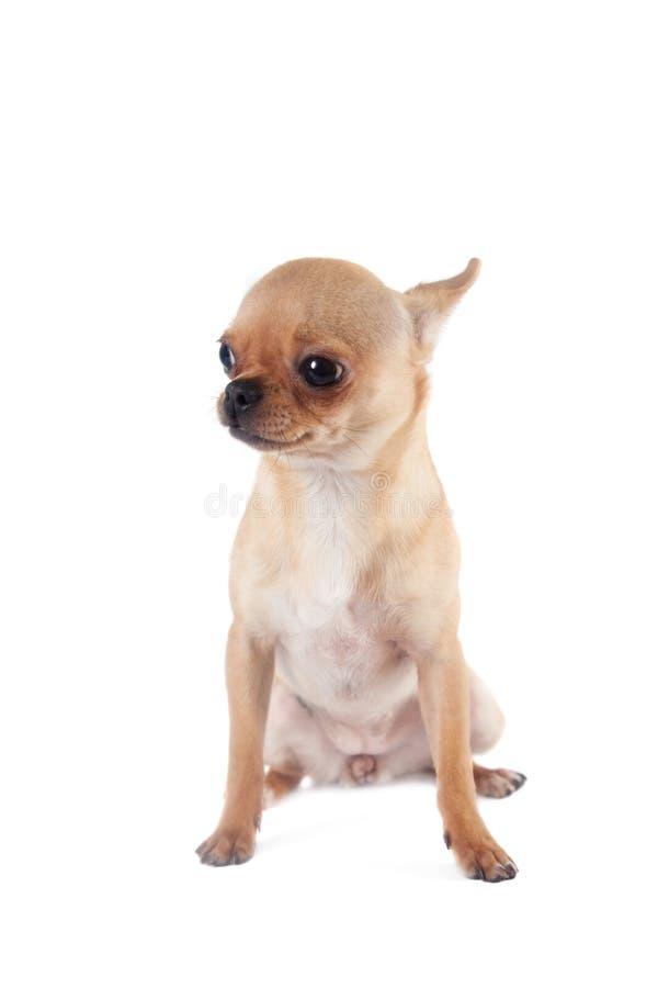 Chihuahua, siebenmonatiges Baby, auf dem weißen Hintergrund lizenzfreie stockbilder